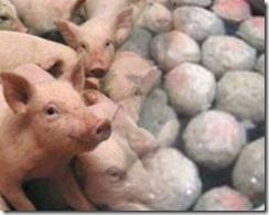 membedakan baso babi